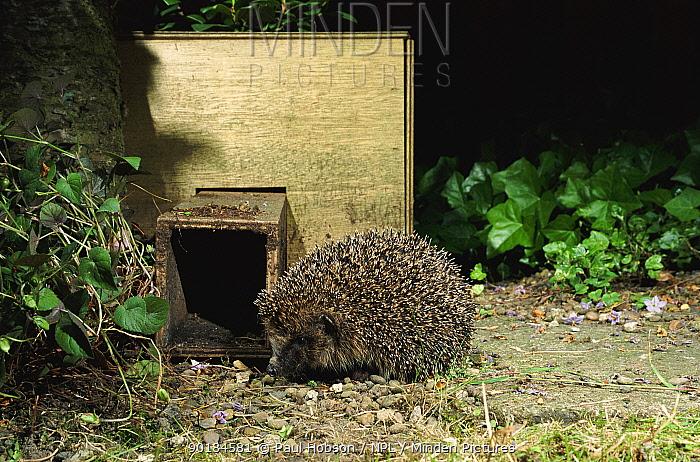 Hedgehog next to hogbox (Erinaceus europaeus) Yorkshire, UK  -  Paul Hobson/ npl