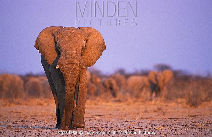 African elephant walking (Loxodonta africana) herd in background, Etosha NP, Namibia  -  Tony Heald/ npl