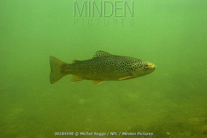 Brown trout (Salmo trutta fario) Idrjica, Slovenia, 2006  -  Michel Roggo/ npl