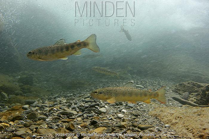 Brown trout (Salmo trutta fario) under waterfall, waiting for drift food, Saane river tributary, Swiss Alps, Fribourg, Switzerland 2006  -  Michel Roggo/ npl