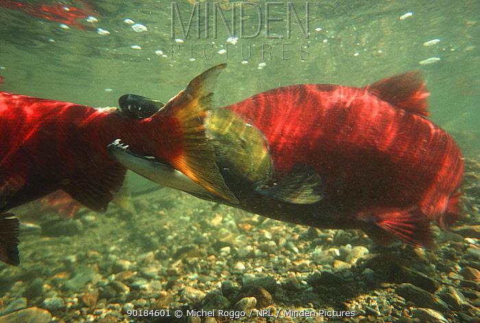 Sockeye, Red salmon (Oncorhynchus nerka) males fighting on spawning ground, Adams river, British Columbia, Canada, 1990  -  Michel Roggo/ npl