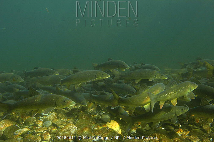 Italian barbel (Barbus plebejus) Idrijca river, Slovenia, November 2005  -  Michel Roggo/ npl