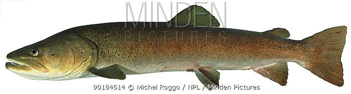 Danube salmon (Hucho hucho) Europe  -  Michel Roggo/ npl
