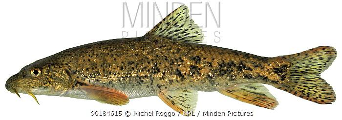Brook barbel (Barbus caninus) Europe  -  Michel Roggo/ npl