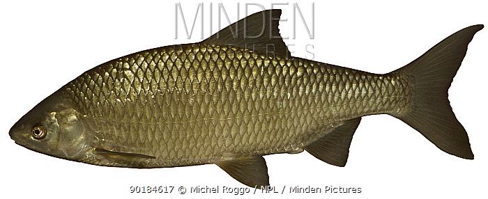 Danubian roach, Pigo (Rutilus pigus) Europe  -  Michel Roggo/ npl