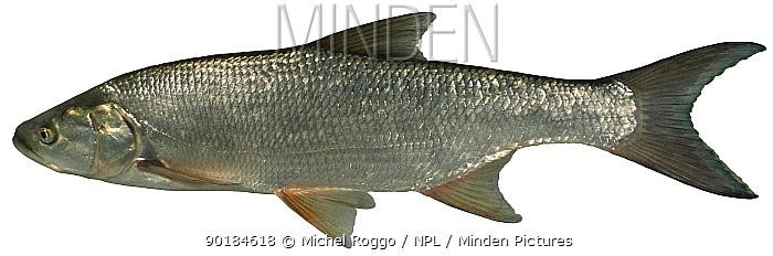 Asp (Aspius aspius) Germany  -  Michel Roggo/ npl