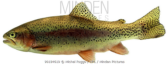 Rainbow trout (Salmo gairdneri, Oncorhynchus mykiss) Europe  -  Michel Roggo/ npl