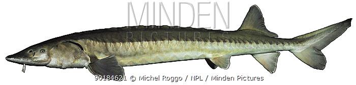 Common Atlantic sturgeon (Acipenser sturio) Europe  -  Michel Roggo/ npl