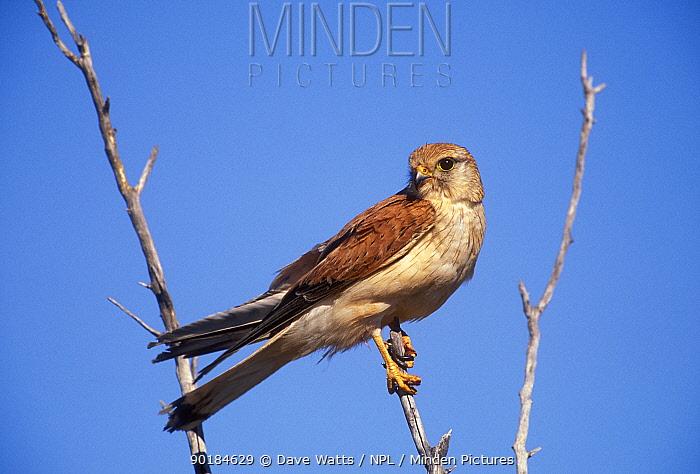 Australian, Nankeen kestrel (Falco cenchroides) South Australia  -  Dave Watts/ npl