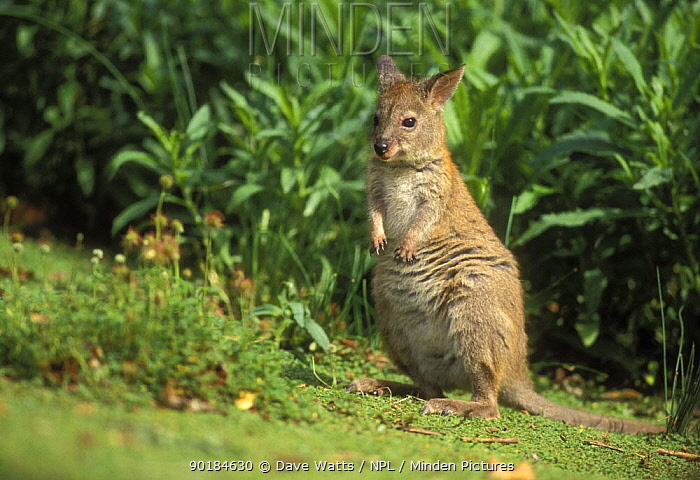 Red-necked pademelon (Thylogale thetis) Queensland, Australia  -  Dave Watts/ npl