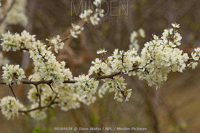 Blackthorn blossom (Prunus spinosa), France  -  Dave Watts/ npl