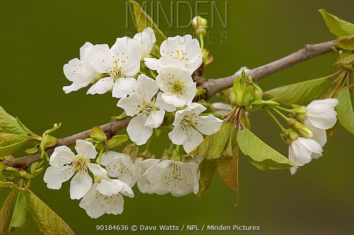 Sweet, Wild Cherry blossom (Prunus avium), France  -  Dave Watts/ npl