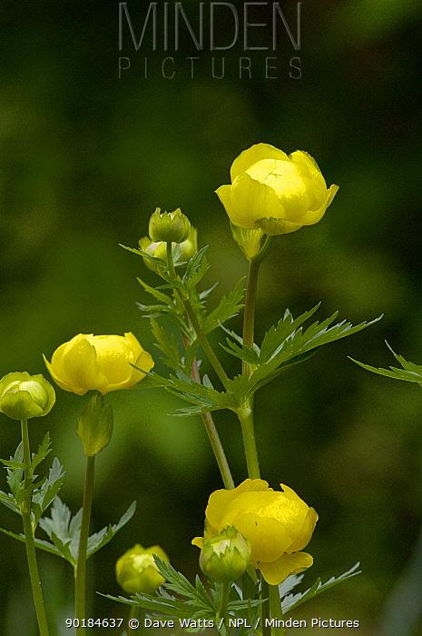 Globe Flower (Trollius europaeus), France  -  Dave Watts/ npl