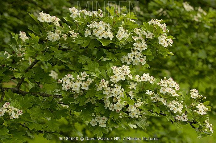 Hawthorn blossom (Crataegus oxyacantha), UK  -  Dave Watts/ npl
