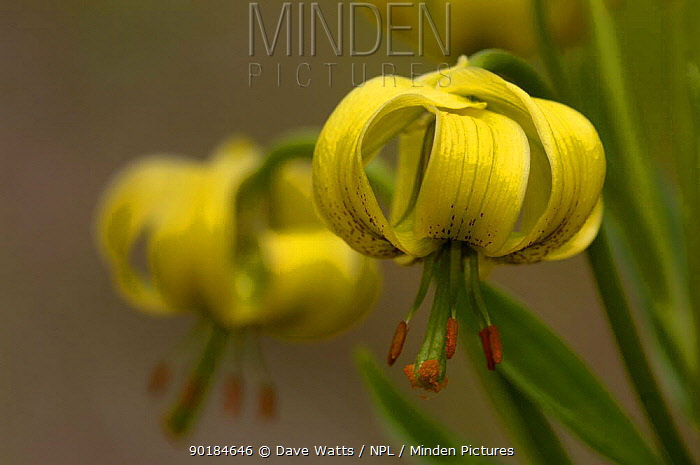 Pyrenean Lily (Lilium pyrenaicum), Pyrenees, France  -  Dave Watts/ npl