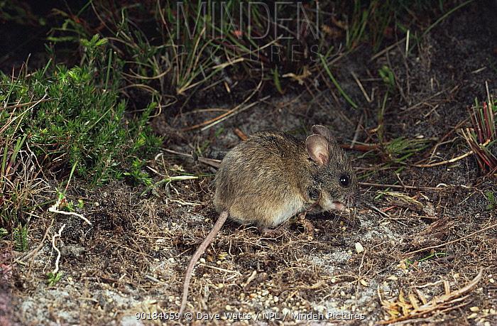 New Holland Mouse (Pseudomys novaehollandiae), an endangered species, Tasmania, Australia  -  Dave Watts/ npl
