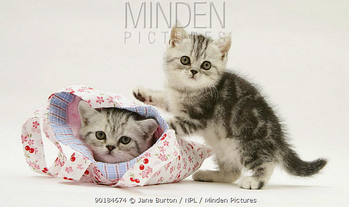 Silver tabby kittens playing in and with a child's pink cloth bag  -  Jane Burton/ npl