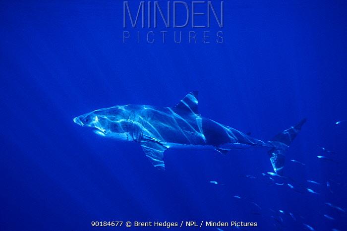 Great white shark off South Australia  -  Brent Hedges/ npl