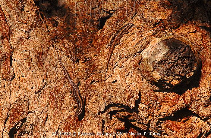 Two Kalahari tree skink camouflaged on bark of acacia tree, Namibia, Southern Africa  -  Francois Savigny/ npl