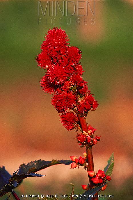 Fruit of Castor oil plant (Ricinus communis) Alicante Spain  -  Jose B. Ruiz/ npl