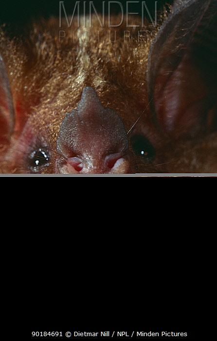 Spix's round eared bat (Tonatia bidens) Panama  -  Dietmar Nill/ npl