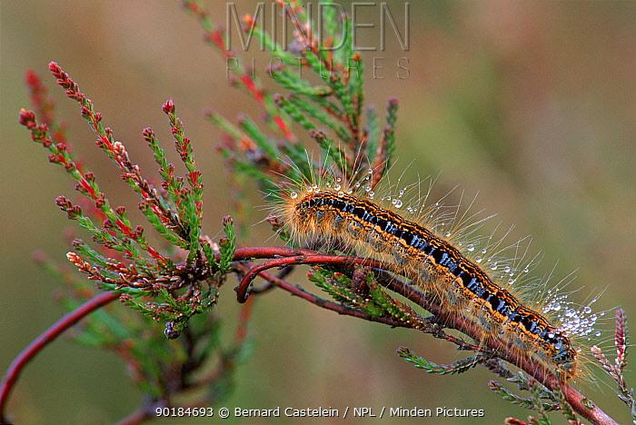 Ground lackey moth caterpillar on heather, Belgium, Europe  -  Bernard Castelein/ npl