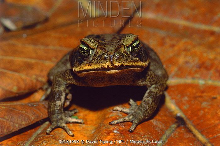 Giant toad (Bufo marinus) Manu National Park, Peru  -  David Tipling/ npl