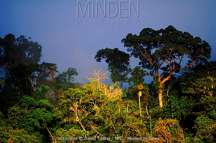 Primary lowland rainforest, Manu National Park, Peru  -  David Tipling/ npl