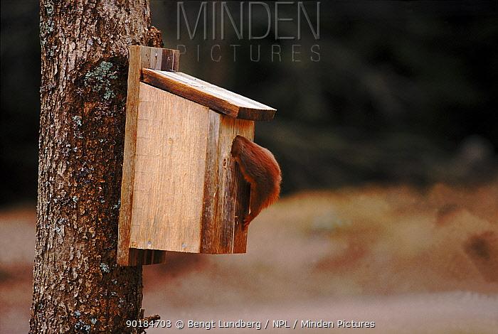 Red squirrel investigates birdbox Sequence 4, 5 Sweden  -  Bengt Lundberg/ npl