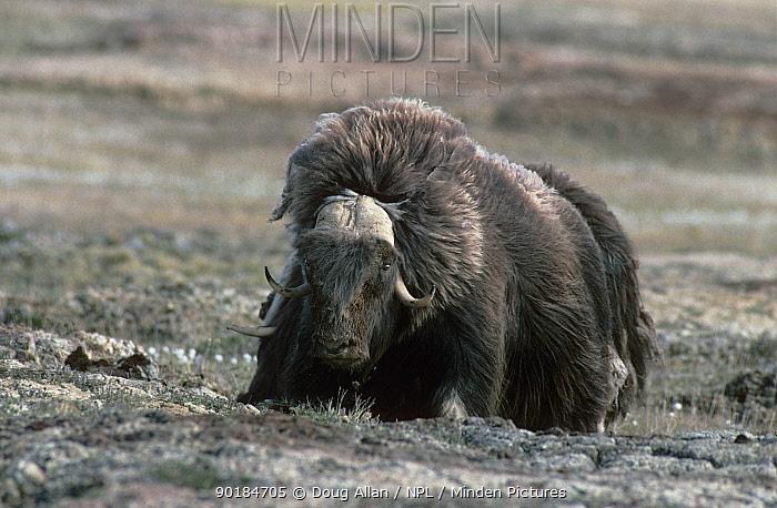 Muskox (Ovibos moschatus) on tundra, Somerset Island, Canadian Arctic  -  Doug Allan/ npl