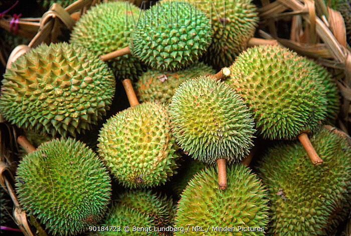 Durian fruits (Durio zibethinus) Singapore  -  Bengt Lundberg/ npl
