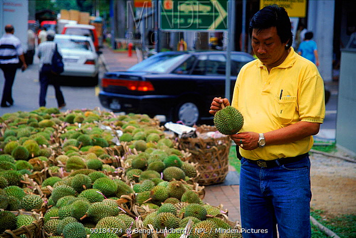 Man buying durian fruit (Durio zibethinus) Singapore  -  Bengt Lundberg/ npl