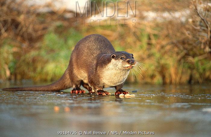 European River Otter (Lutra lutra) on frozen water, Otterpark Aqualutra, Leeuwarden, the Netherlands  -  Niall Benvie/ npl