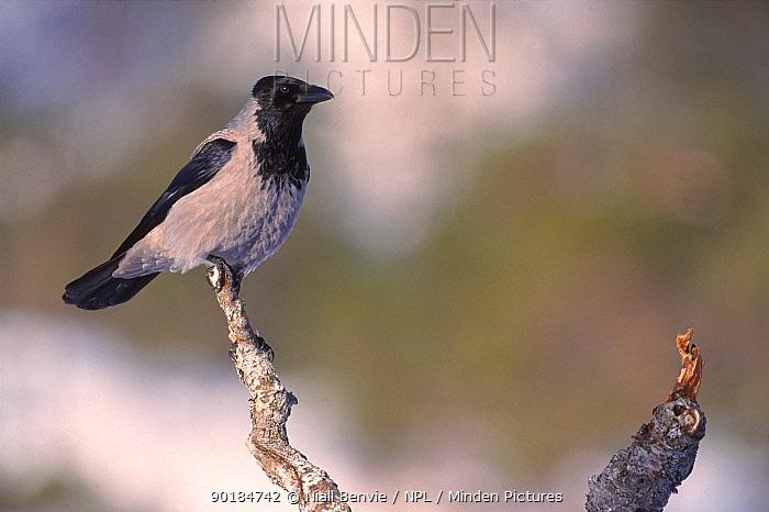 Hooded crow, Norway, Scandinavia, Europe  -  Niall Benvie/ npl
