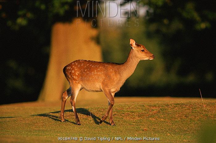 Sika doe (Cervus nippon) Japan  -  David Tipling/ npl