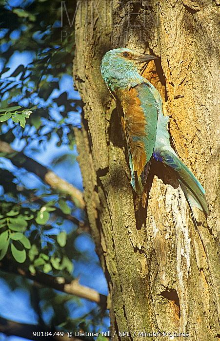 Common roller (Coracias garrulus) on tree trunk at nest hole, Hungary  -  Dietmar Nill/ npl