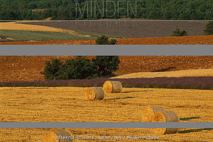 Straw bales and lavender field landscape, Sault Region, Provence, France  -  Jean E. Roche/ npl
