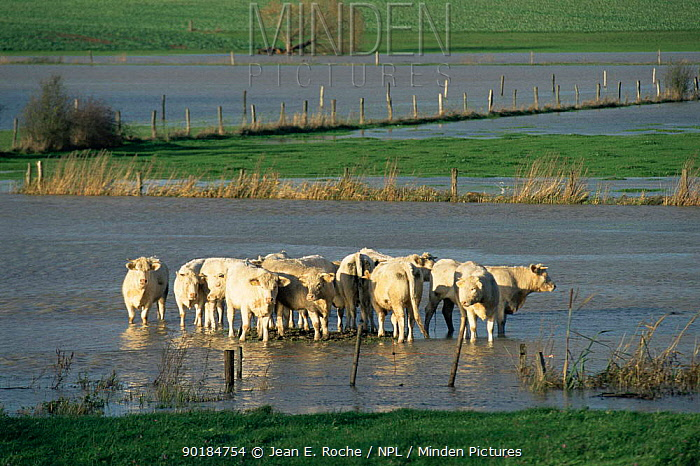 Cattle in flooded Seille plain, Lorraine Regional Park, France  -  Jean E. Roche/ npl