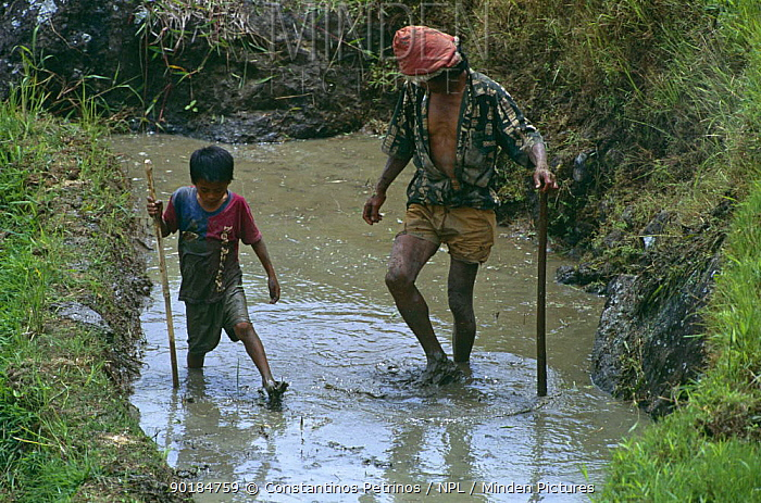 Young boy and man working in rice field (child labour) Central Sulawesi, Indonesia 2000  -  Constantinos Petrinos/ npl