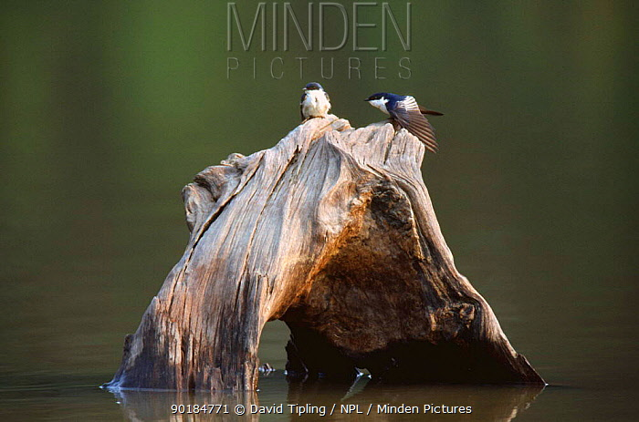 White winged swallow courtship (Tachycineta albiventer) Amazonia, Peru, South America  -  David Tipling/ npl