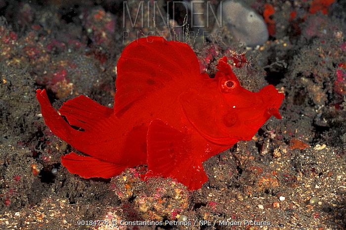 Weedy scorpionfish (Rhinopias frondosa) Sulawesi, Indonesia  -  Constantinos Petrinos/ npl