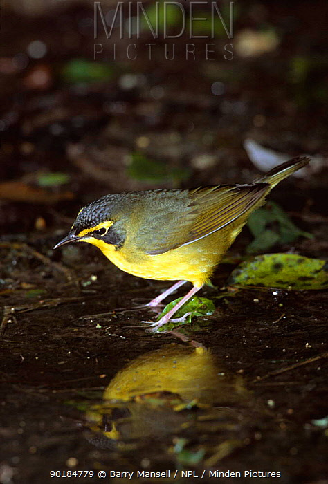Kentucky warbler at water (Oporonis formosus) Texas, USA  -  Barry Mansell/ npl