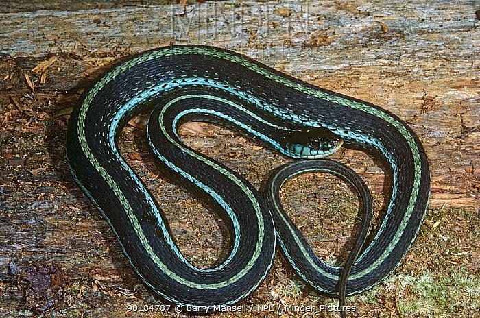 Blue striped garter snake (Thamnophis sirtalis similis) Florida, USA  -  Barry Mansell/ npl