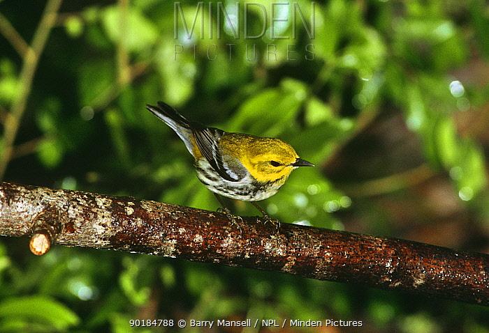 Black throated green warbler (Dendrioca virens) Texas, USA  -  Barry Mansell/ npl