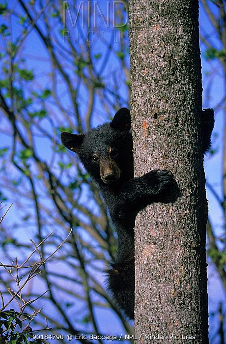 Black bear cub climbing tree (Ursus americanus) Forillon Park, Quebec Canada  -  Eric Baccega/ npl