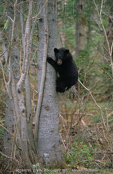 Black bear cub climbing down tree (Ursus americanus) Forillon Park, Quebec Canada  -  Eric Baccega/ npl