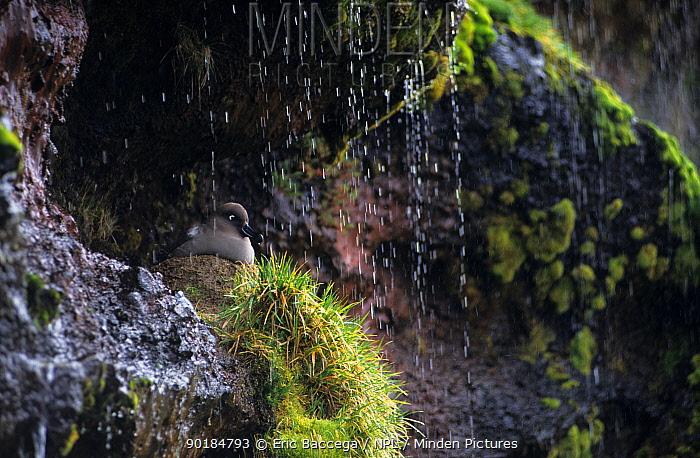 Light mantled sooty albatross at nest, Possession Is, Crozet, (Phoebetria palpebrata)  -  Eric Baccega/ npl