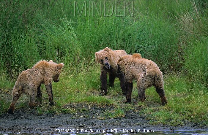 Grizzly bear cubs play fighting, Katmai National Park, Alaska (Ursus arctos horribilis)  -  Eric Baccega/ npl