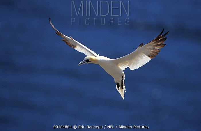 Northern gannet hovering (Morus bassana) Quebec  -  Eric Baccega/ npl