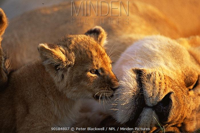 Lion cub nuzzling mother (Panthera leo) Masai Mara, Kenya  -  Peter Blackwell/ npl